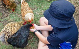 Kind füttert Hühner