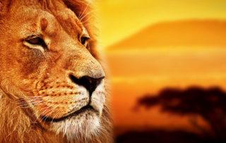 Löwe in der afrikanischen Steppe