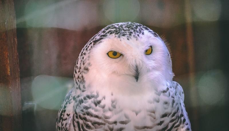 Zauberereule Hedwig