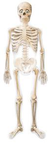 ...als Skelett